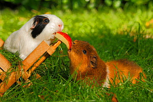 Two Guinea Pigs (Cavia porcellus) white/black and tan short coated, on garden lawn feeding on piece of apple.  -  Petra Wegner