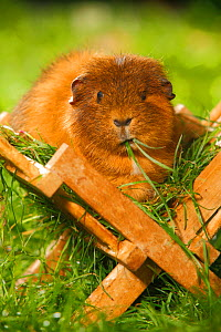 Guinea Pig (Cavia porcellus) tan short coated, in wooden feeding rack, on garden lawn, feeding on grass  -  Petra Wegner