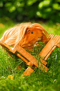 Guinea Pig (Cavia porcellus) golden long haired, in wooden feeding rack, on garden lawn, feeding on grass  -  Petra Wegner