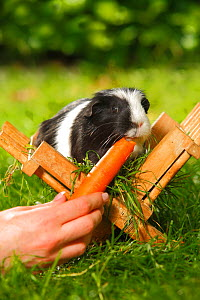 Guinea Pig (Cavia porcellus) black and white short coated, in wooden feeding rack, on garden lawn, being fed carrot. Model rleased  -  Petra Wegner