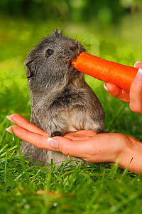 Guinea Pig (Cavia porcellus) grey short coated, on garden lawn, being fed carrot  -  Petra Wegner