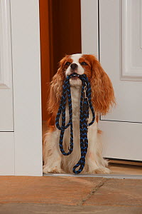Cavalier King Charles Spaniel, blenheim coated, holding leash in mouth, in doorway. - Petra Wegner