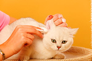 British Shorthair Cat, silver-shaded, having ears cleaned by a woman  -  Petra Wegner
