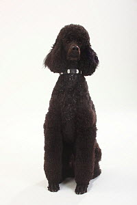 Standard Poodle, black coated and clipped with collar, sitting  -  Petra Wegner