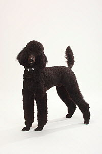 Standard Poodle, black coated and clipped with collar, standing in show-stack posture  -  Petra Wegner