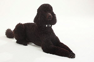 Standard Poodle, Standard Poodle, black coated and clipped with collar, lying down with paws outstretched  -  Petra Wegner