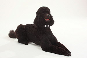 Standard Poodle, Standard Poodle, black coated and clipped with collar, lying down with paws outstretched, panting  -  Petra Wegner