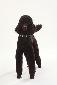 Standard Poodle, Standard Poodle, black coated and clipped with collar, standing  -  Petra Wegner