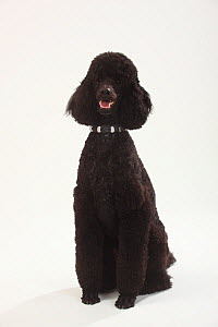 Standard Poodle, Standard Poodle, black coated and clipped with collar, sitting and panting  -  Petra Wegner