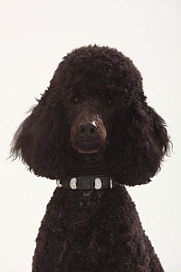 Standard Poodle, black coated and clipped with collar, head portrait  -  Petra Wegner