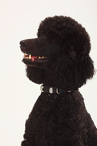 Standard Poodle, black coated and clipped with collar, head portrait, panting  -  Petra Wegner