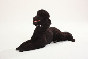 Standard Poodle, black coated and clipped with collar, lying down with paws outstretched  -  Petra Wegner