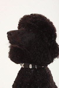 Standard Poodle, black coated and clipped with collar, head portrait in profile  -  Petra Wegner