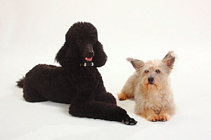 Standard Poodle, black coated and clipped with collar, lying down with paws outstretched, with and Mixed Breed terrier-cross dog  -  Petra Wegner