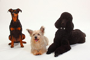Standard Poodle, black coated and clipped with collar, lying down with paws outstretched, with  German Pinscher bitch, sitting, and Mixed Breed terrier-cross dog  -  Petra Wegner