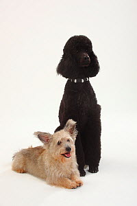 Standard Poodle, black coated and clipped with collar, sitting, with Mixed Breed terrier-cross dog  -  Petra Wegner