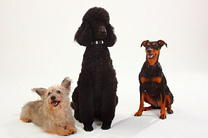 Standard Poodle, black coated and clipped with collar, sitting, with  German Pinscher bitch, sitting, and Mixed Breed terrier-cross dog  -  Petra Wegner