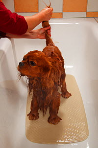 Cavalier King Charles Spaniel, ruby coated, being showered / bathed, in a bathtub. Sequence 4/16 - Petra Wegner