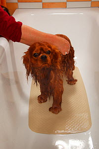 Cavalier King Charles Spaniel, ruby coated, being showered / bathed, in a bathtub. Sequence 5/16 - Petra Wegner