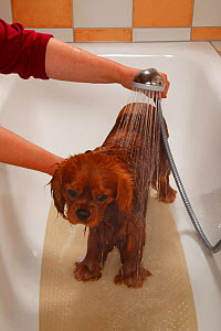 Cavalier King Charles Spaniel, ruby coated, being showered / bathed, in a bathtub. Sequence 6/16. Model released  -  Petra Wegner
