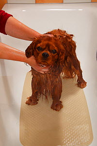 Cavalier King Charles Spaniel, ruby coated, being showered / bathed, in a bathtub. Sequence 8/16 - Petra Wegner