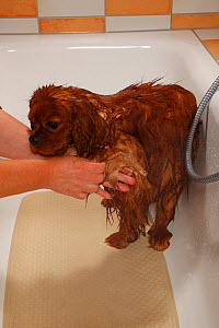 Cavalier King Charles Spaniel, ruby coated, being showered / bathed, in a bathtub. Sequence 9/16 - Petra Wegner