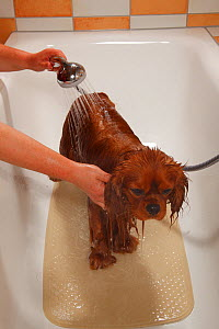 Cavalier King Charles Spaniel, ruby coated, being showered / bathed, in a bathtub. Sequence 10/16 - Petra Wegner