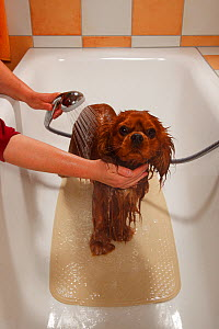 Cavalier King Charles Spaniel, ruby coated, being showered / bathed, in a bathtub. Sequence 11/16 - Petra Wegner