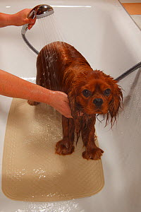 Cavalier King Charles Spaniel, ruby coated, being showered / bathed, in a bathtub. Sequence 12/16 - Petra Wegner