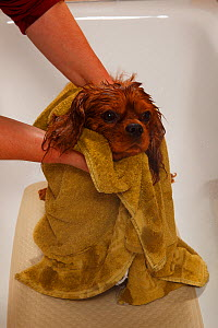 Cavalier King Charles Spaniel, ruby coated, being showered / bathed, in a bathtub, and rubbed dry with a towel. Sequence 16/16 - Petra Wegner
