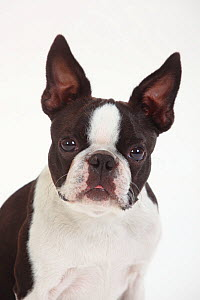 Boston Terrier, head portrait of male  -  Petra Wegner