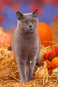 British Shorthair tomcat, blue coated, portrait standing in straw with Pumpkins / Squash - Petra Wegner