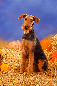 Airedale Terrier with clipped coat, sitting in straw, with Pumpkins and Squash  -  Petra Wegner