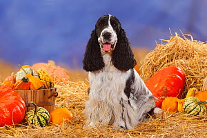 English Cocker Spaniel, black-and-white coated sitting, panting, in straw with Pumpkins and Squash  -  Petra Wegner