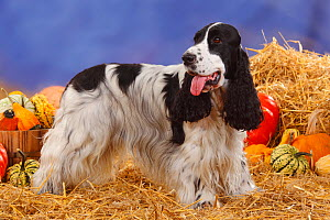 English Cocker Spaniel, black-and-white coated standing in show-stack posture, panting, in straw with Pumpkins and Squash  -  Petra Wegner