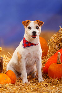 Parson's Russell Terrier (Parson Jack Russell Terrier)  portrait of bitch, wearing a neckerchief, sitting in straw with Pumpkins / Squash - Petra Wegner