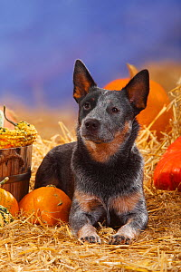 Australian Cattle Dog, portrait lying down in straw with Pumpkins / Squash - Petra Wegner