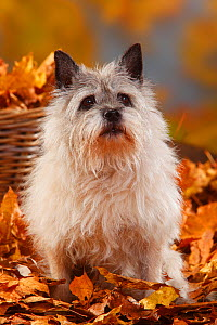 Cairn Terrier, portrait sitting in autumn foliage, aged 14 years  -  Petra Wegner