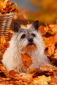 Cairn Terrier, portrait lying in autumn foliage, aged 14 years  -  Petra Wegner