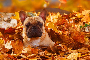 French Bulldog, portrait lying  in autumn foliage  -  Petra Wegner