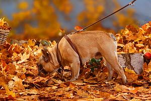 French Bulldog on a harness / leash, French walking in autumn foliage - Petra Wegner