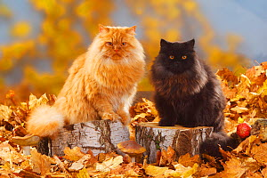British Longhair Cats, tomcats, black and red coated (Highlander, Lowlander, Britannica) sitting on large log, with autumn foliage - Petra Wegner
