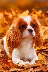 Cavalier King Charles Spaniel, blenheim coated, head portrait, lying in autumn foliage  -  Petra Wegner