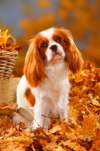 Cavalier King Charles Spaniel, blenheim coated, head portrait, sitting in autumn foliage  -  Petra Wegner