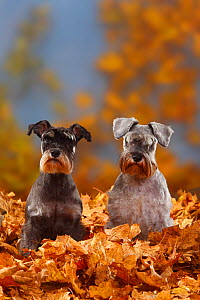 Two Miniature Schnauzers, black-silver and pepper-and-salt coated, sitting in autumn foliage  -  Petra Wegner