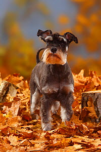 Miniature Schnauzer, black-silver coated, standing in autumn foliage  -  Petra Wegner