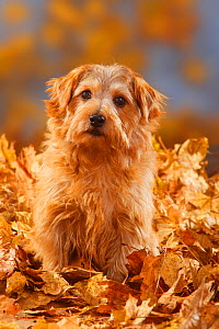 Norfolk Terrier portrait sitting in autumn foliage  -  Petra Wegner