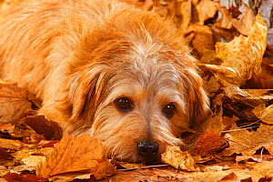 Norfolk terrier portrait, lying in autumn foliage  -  Petra Wegner