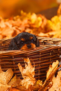 Cavalier King Charles Spaniel, puppy, black-and-tan, coated aged 7 weeks, lying in wicker basket, and autumn foliage  -  Petra Wegner
