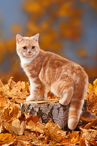 British Shorthair Cat, cream-white coated kitten aged 5 months, standing on log with autumnal leaves - Petra Wegner